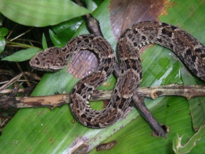 http://titbits-anythingeverything.blogspot.com/2010/12/fer-de-lance-highly-venomous-viper.html
